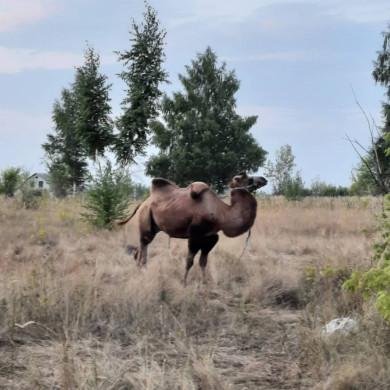В поле под Воронежем заметили верблюда