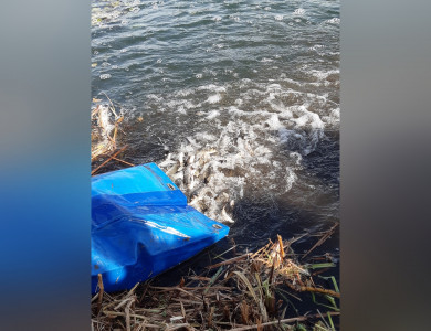 В реку Икорец вВоронежской области выпустили более 500 тысяч мальков сазана
