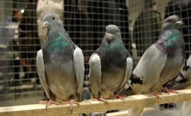 Армянских голубей не пустили в Воронежскую область