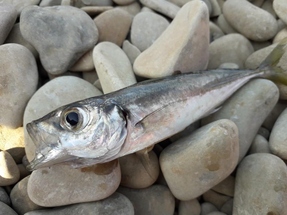 Фото ставриды рыба