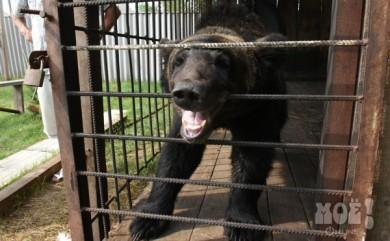 Под Воронежем сбежавший из частного зоопарка медведь убил мужчину