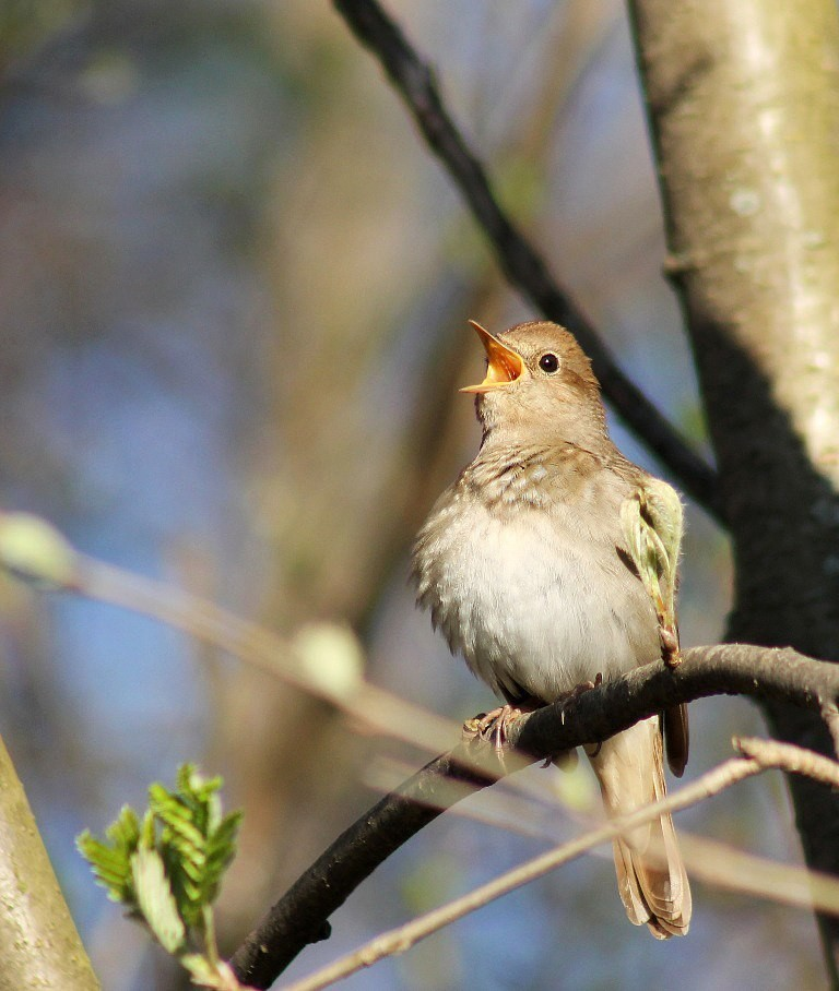 при фото какие птицы поют вечером в лесу услышал