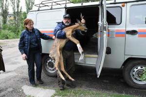 Лягается и прыгает: как в Воронеже спасают раненую косулю